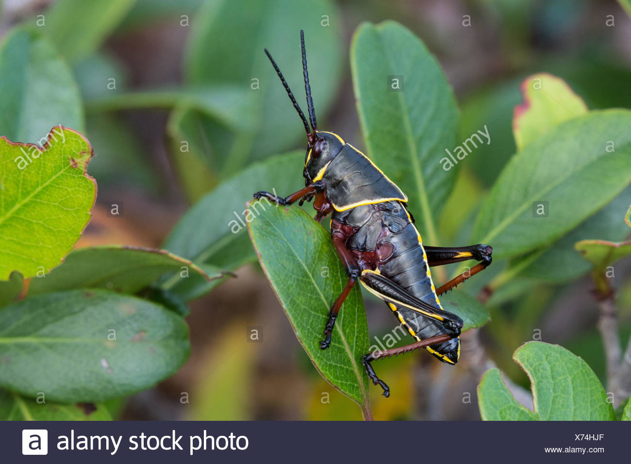 Eastern lubber grasshopper (Romalea microptera), nymph, USA, Florida - Stock Image