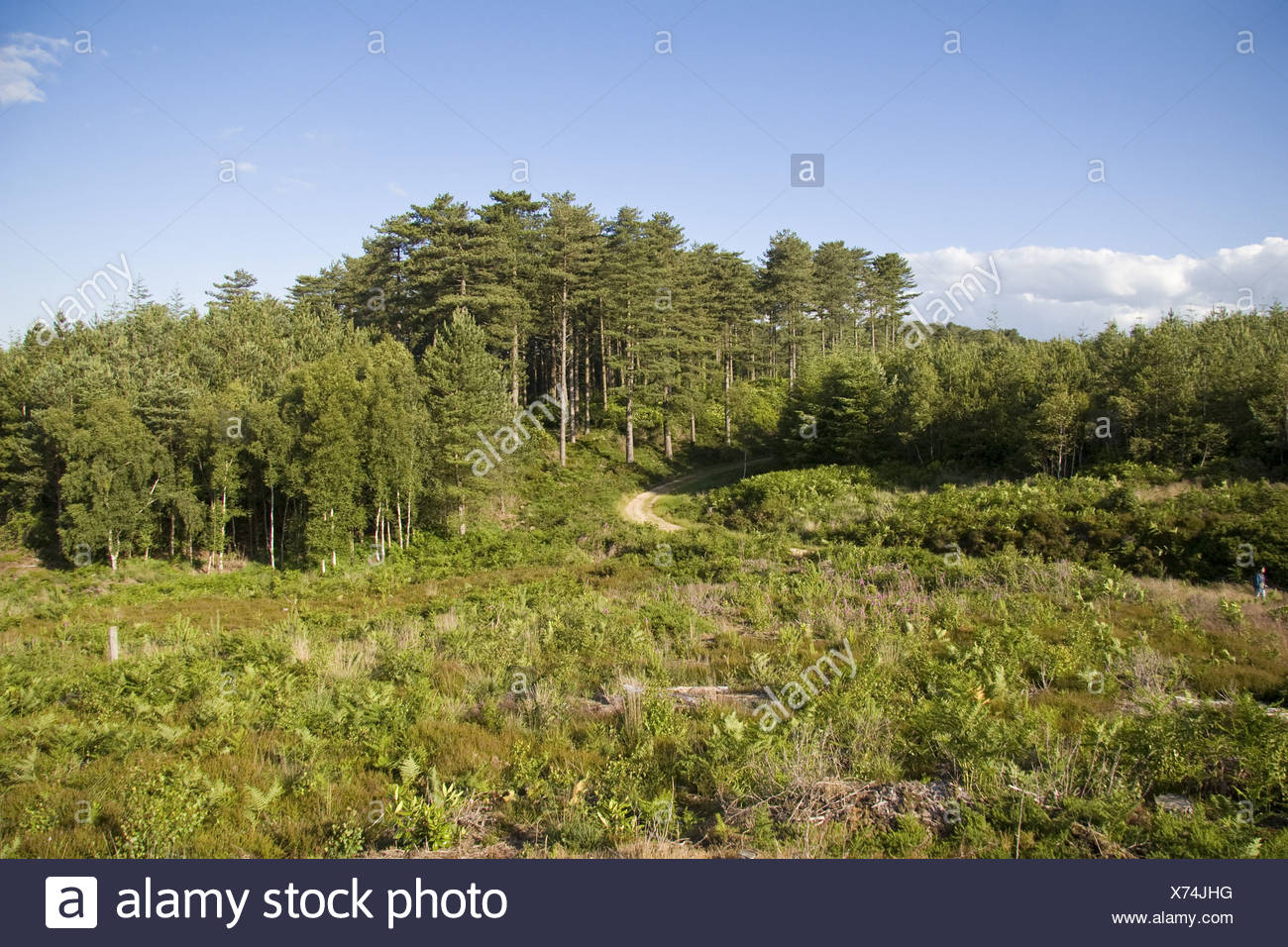 Commercial conifer plantation, recently cleared area in foreground to be managed as heather heathland, Puddletown Forest, - Stock Image