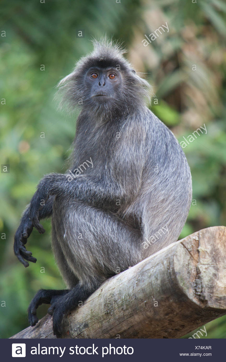 A silvery lutung, Trachypithecus cristatus, sits on a log in the rainforest. - Stock Image