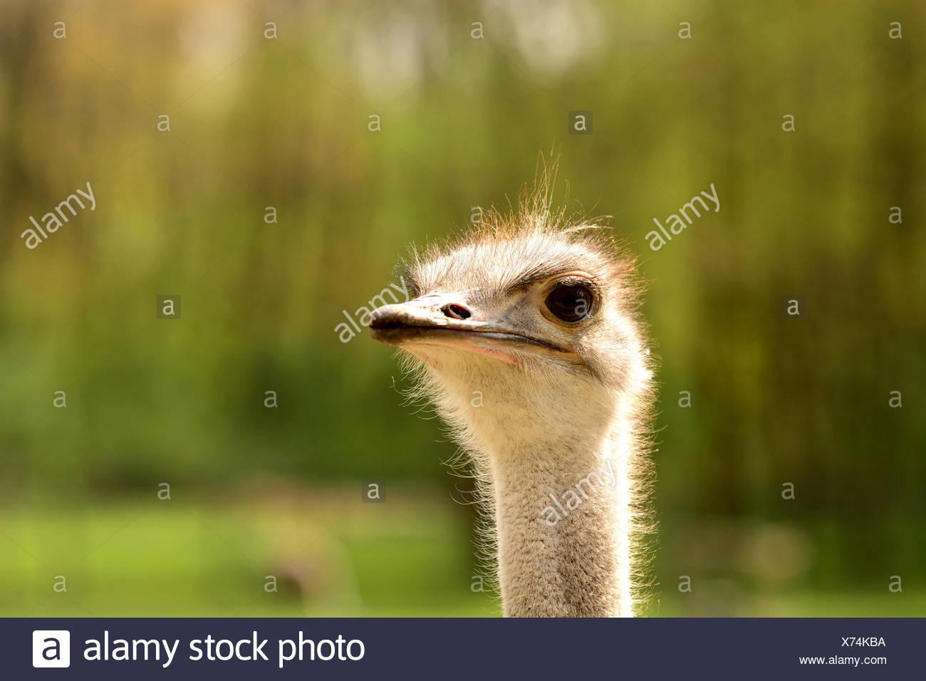 ostrich - portrait - Stock Image