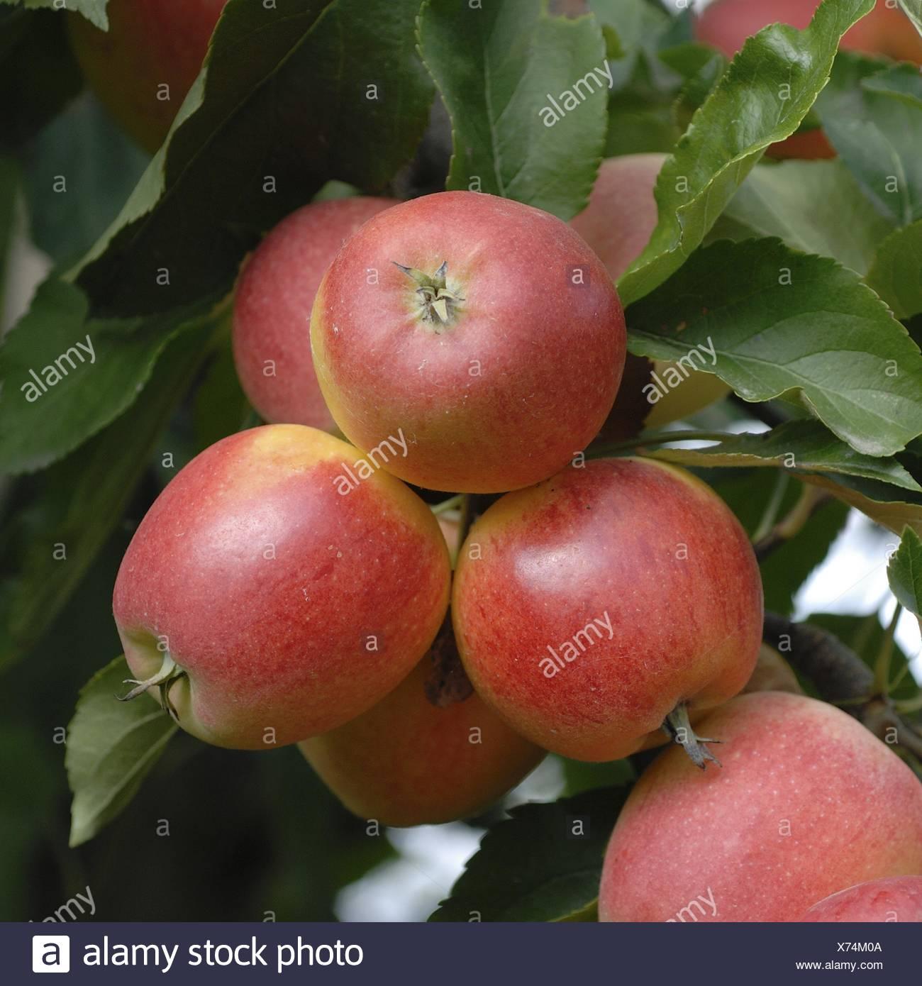 apple tree (Malus domestica 'Gala', Malus domestica Gala), cultivar Gala, apples on a tree - Stock Image
