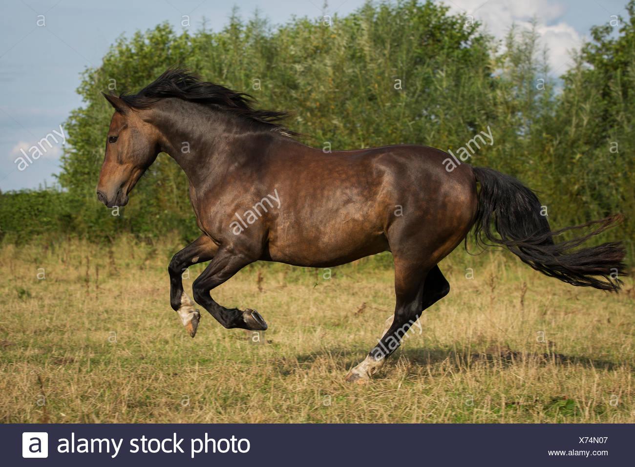 Spanish stallion galloping, Tyrol, Austria - Stock Image