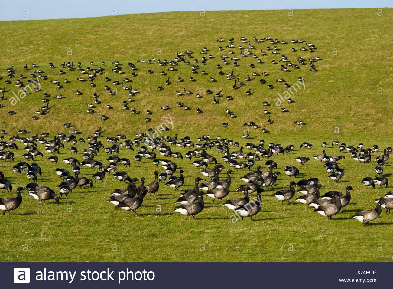 brent goose (Branta bernicla), flock resting on a dike, Netherlands, Texel Stock Photo