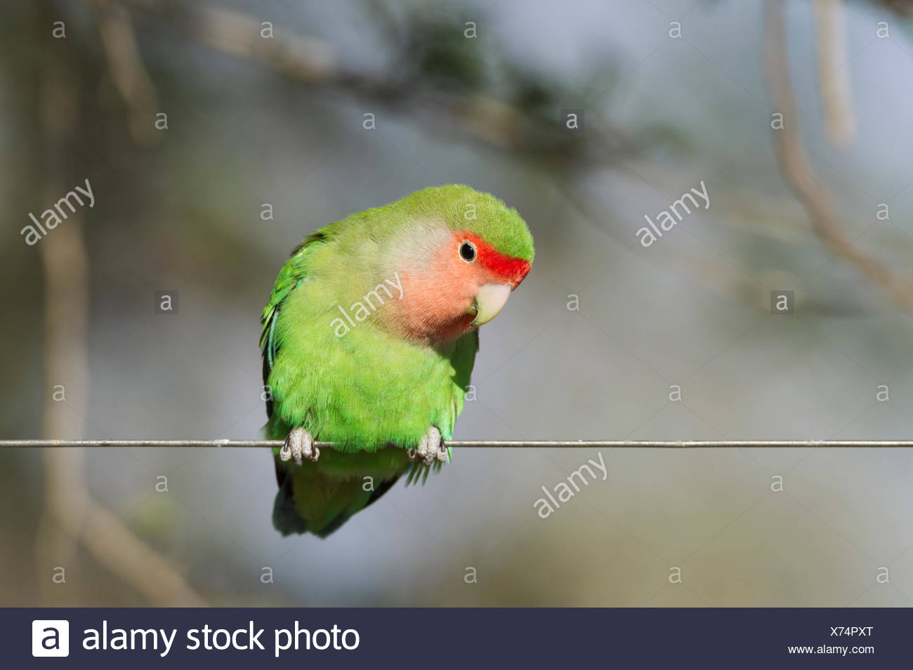 Parrot Wire Stock Photos & Parrot Wire Stock Images - Alamy