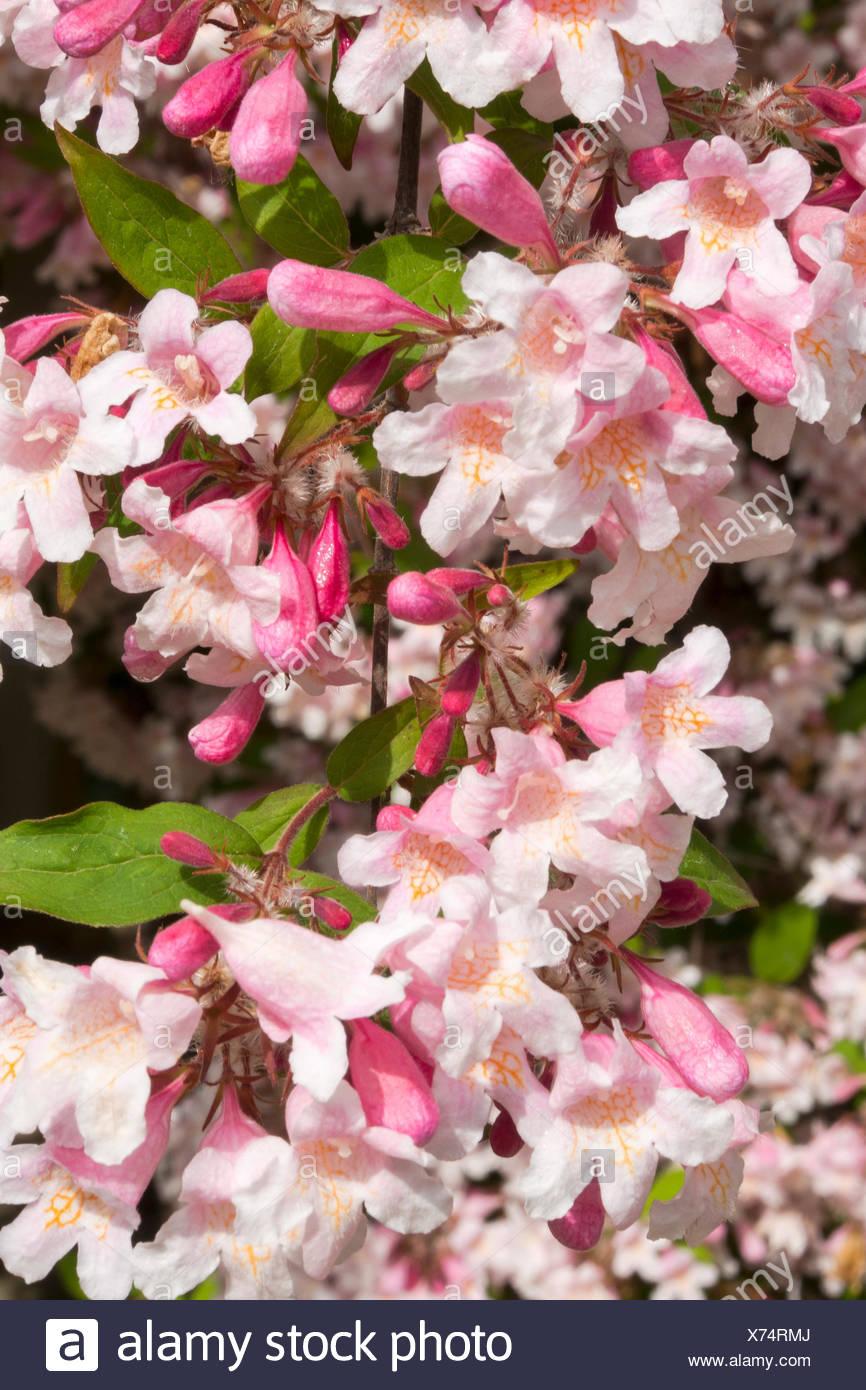 France eastern france burgundy kolkwitzia amabilis flowers france eastern france burgundy kolkwitzia amabilis flowers beauty bush mightylinksfo