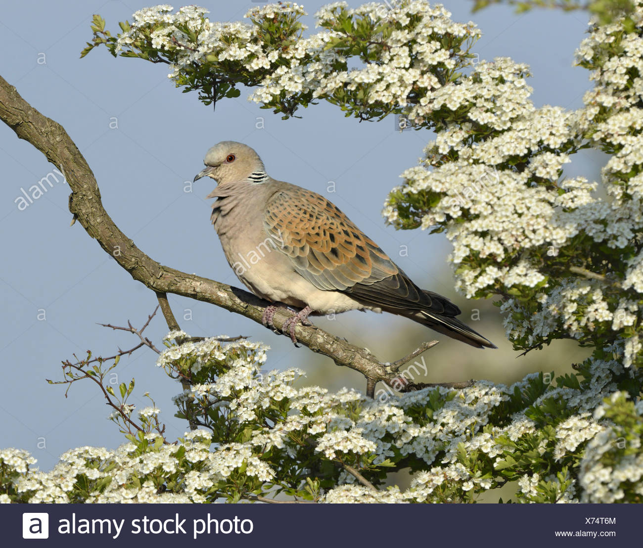 Turtle Dove Streptopelia turtur - Stock Image