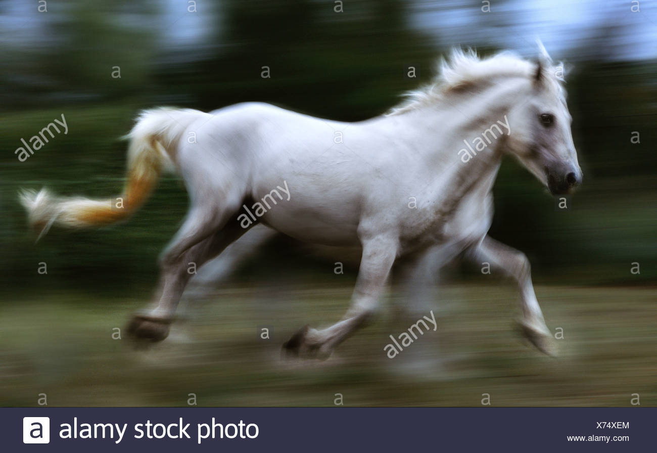 Camargue horse running France - Stock Image