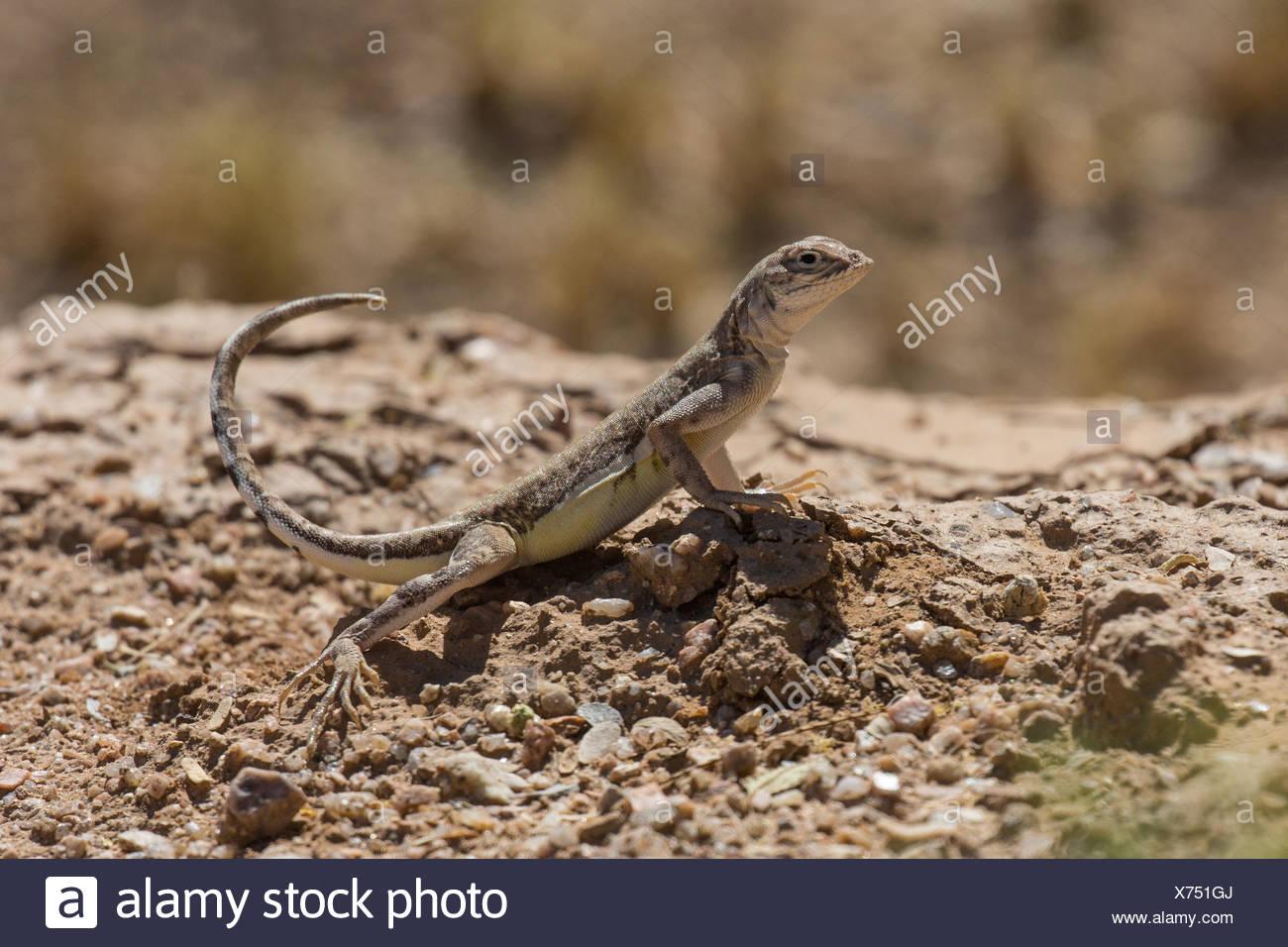 Zebratail lizard, Zebra-tailed lizard (Callisaurus draconoides), stretching the tail upwards, USA, Arizona, Sonoran - Stock Image