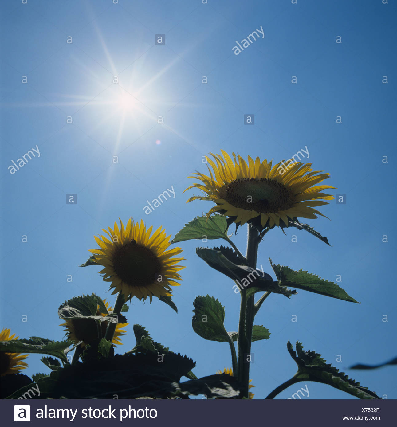 Two sunflower heads against a bright summer sun Tuscany Italy - Stock Image