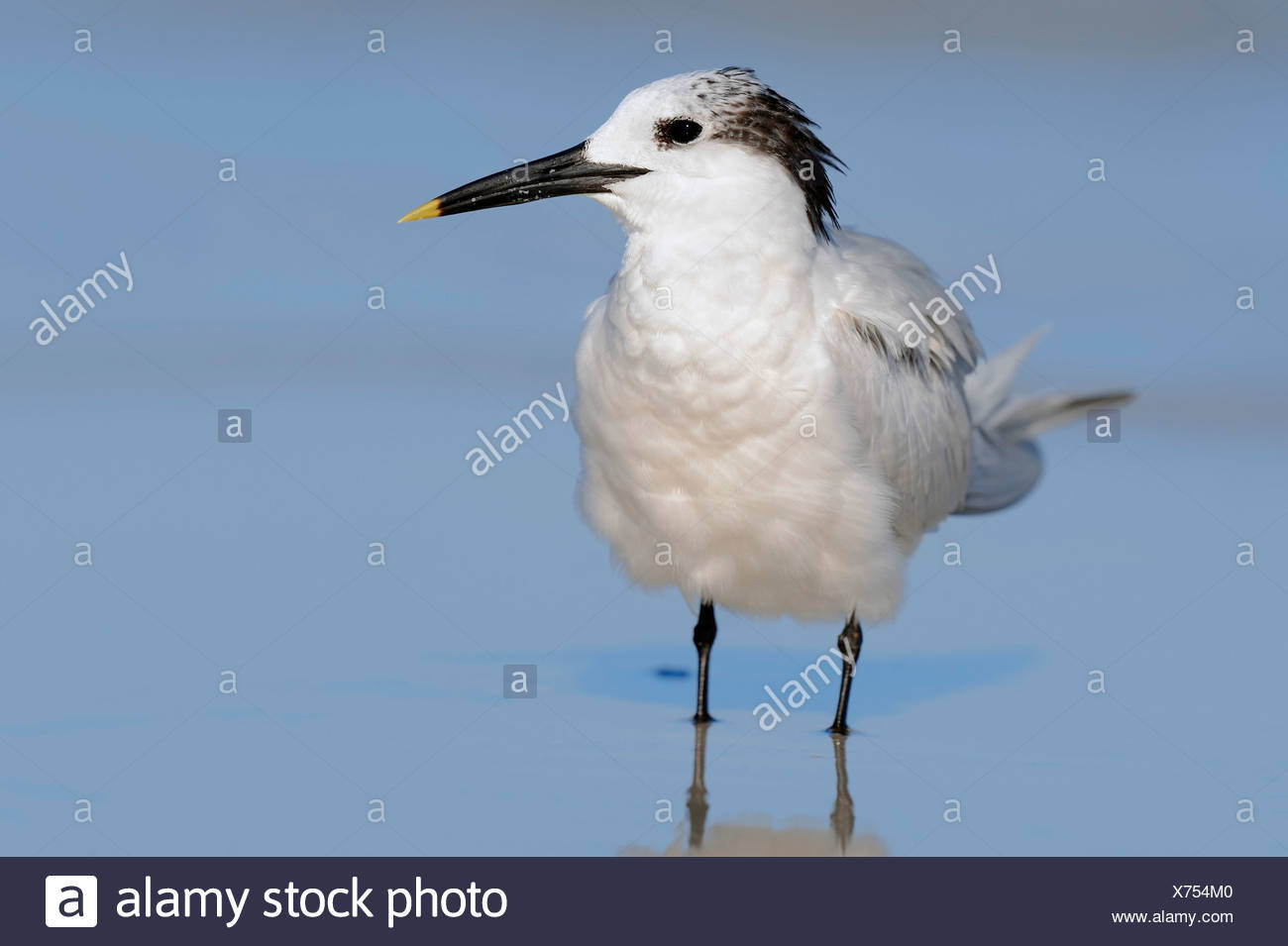 Sandwich Tern (Sterna sandvicensis, Thalasseus sandvicensis) in winter plumage, Florida, United States Stock Photo