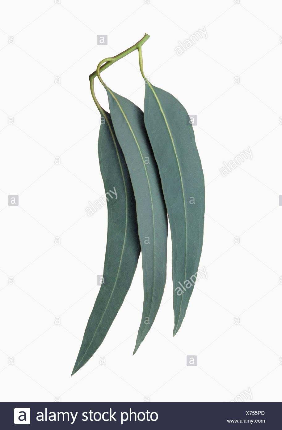 Eucalyptus, Eucalyptus globulus. - Stock Image