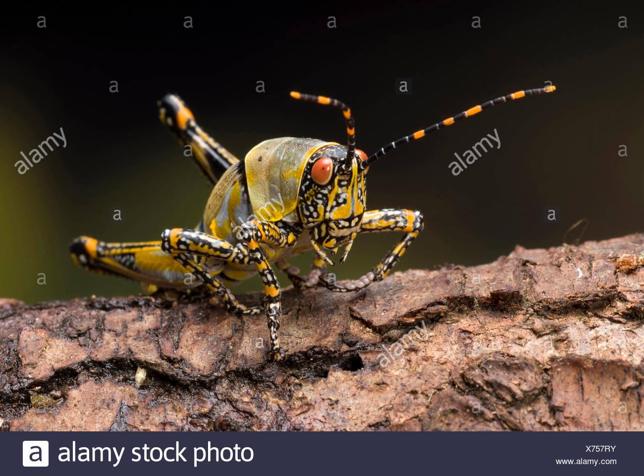 Elegant grashopper (Zonocerus elegans), portrait - Stock Image
