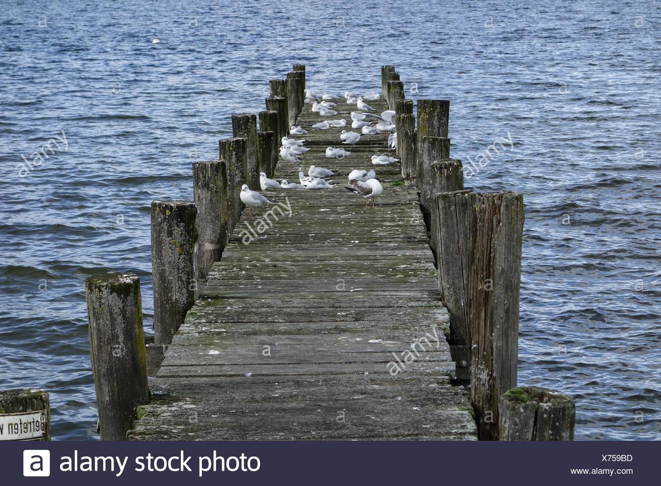 Möven sitzen auf einem Holzsteg im See, Gulls sit on a wooden pier at a lake, Gull, Gulls, Dock, Pier, Wooden, Lake, Water Birds - Stock Image