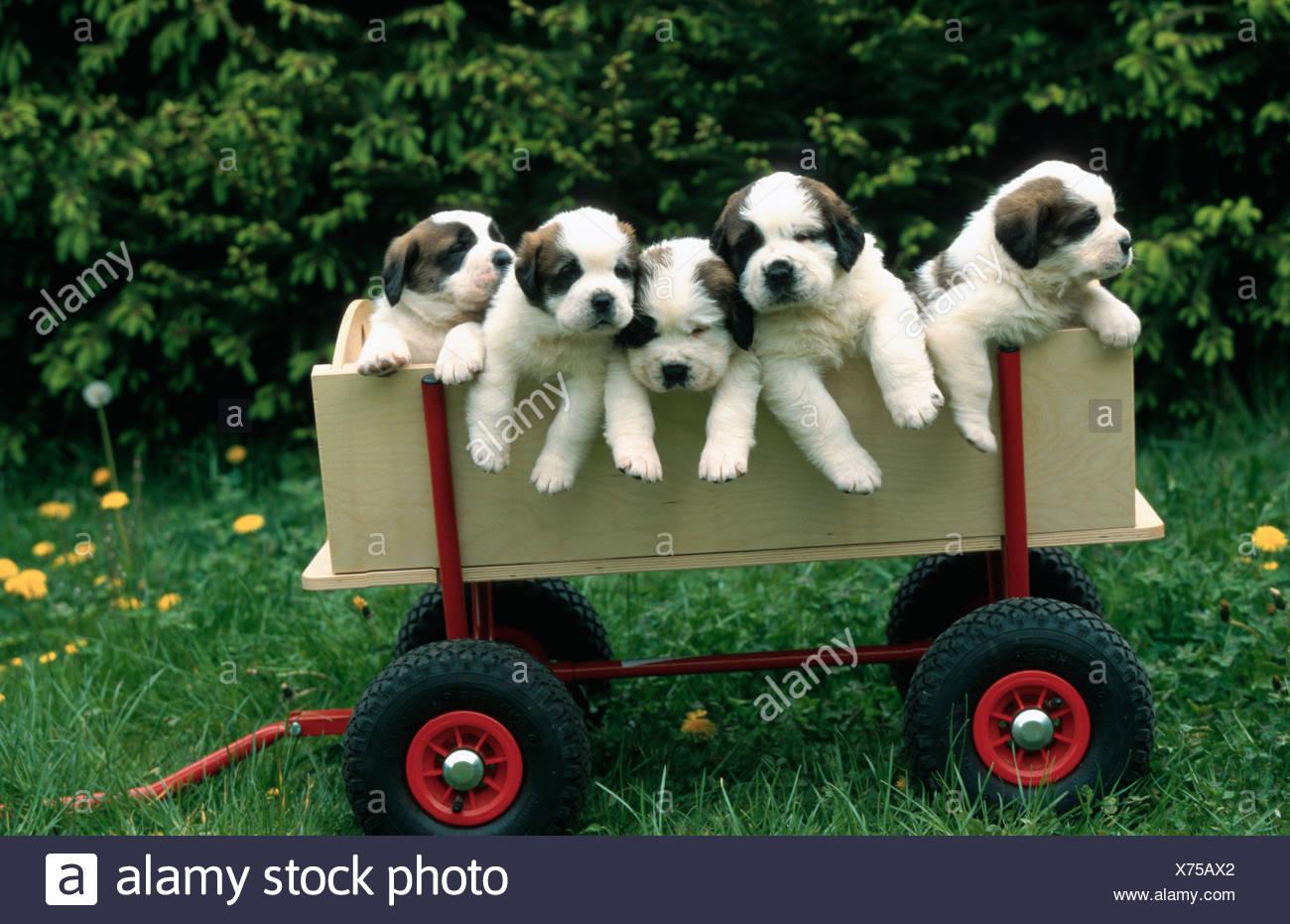 Saint Bernard Dog, five puppies in a trollery, four weeks