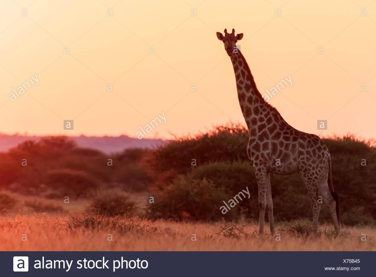 Botswana, Kalahari, Central Kalahari Game Reserve, giraffe at sunrise - Stock Image