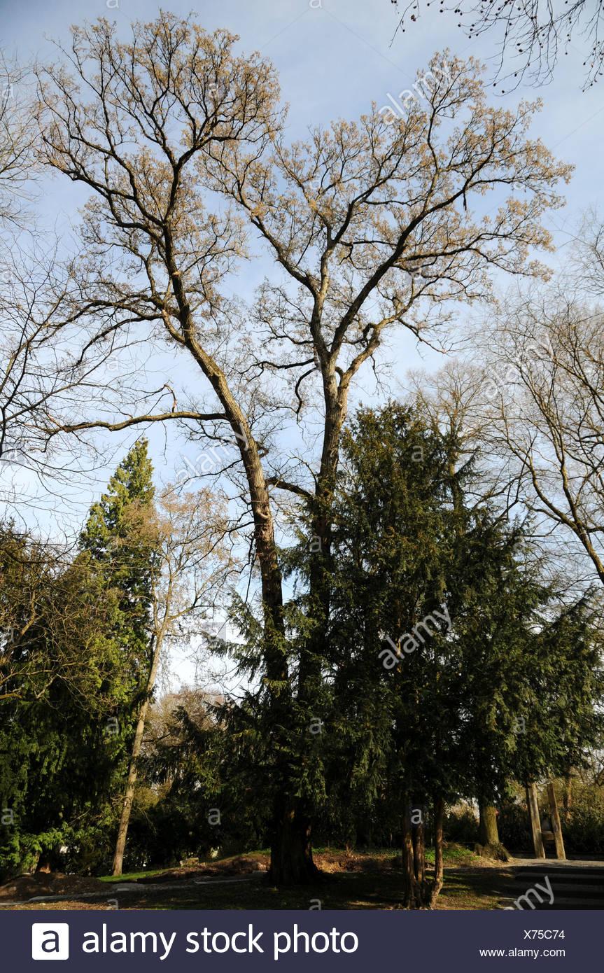 Fluttering elm - Stock Image