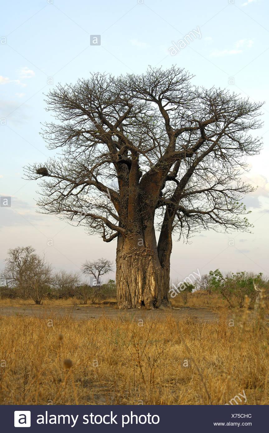 Baboab tree, Savuti, Botswana Stock Photo