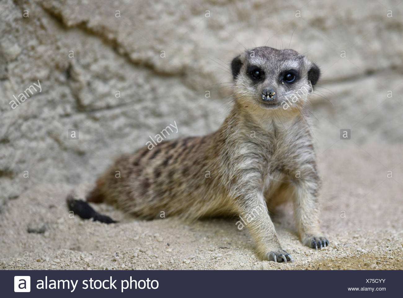Meerkat (Suricata suricatta), young animal, curious, captive - Stock Image