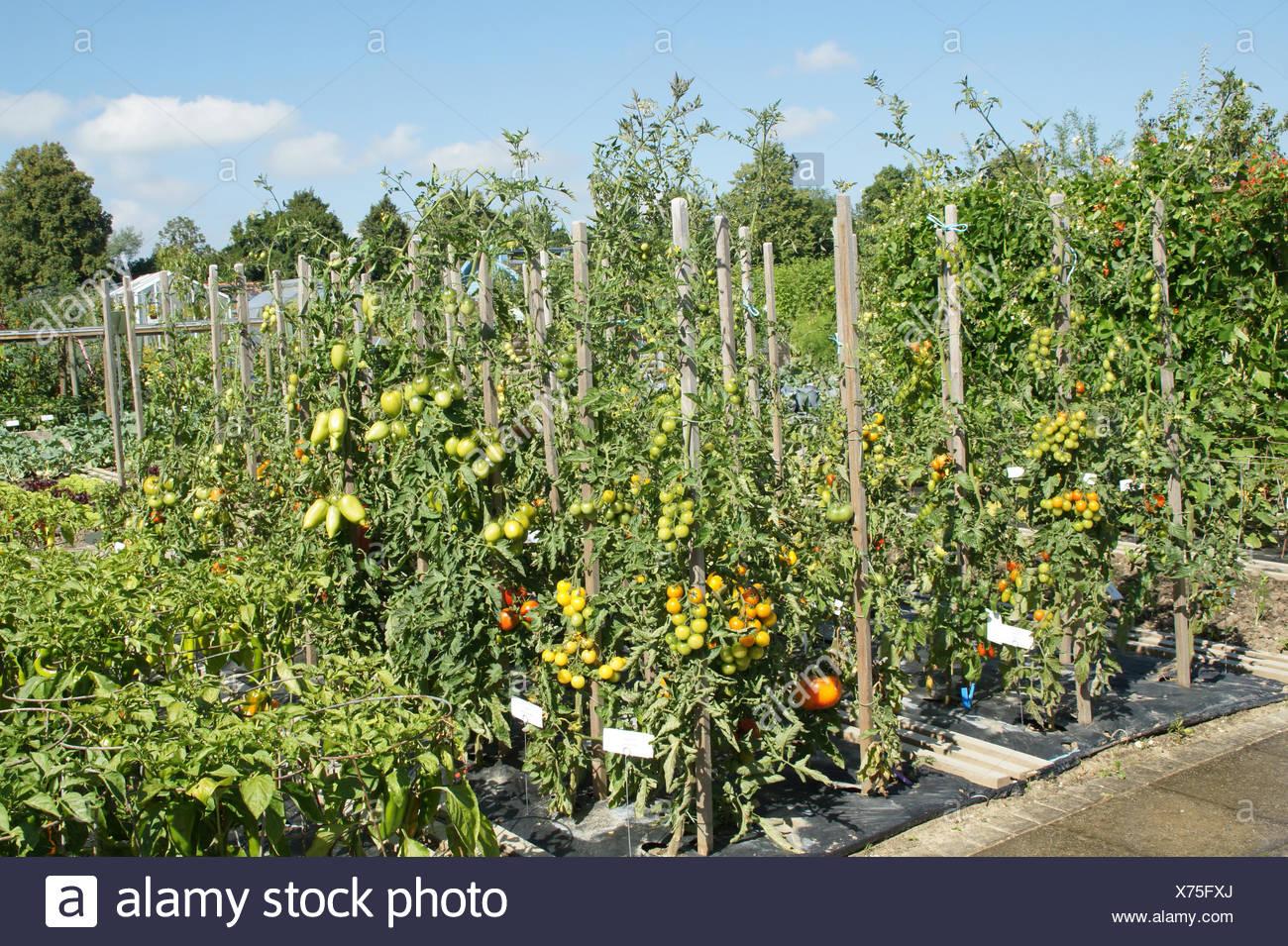 Lycopersicum esculentum, Tomato, Sorten - Stock Image