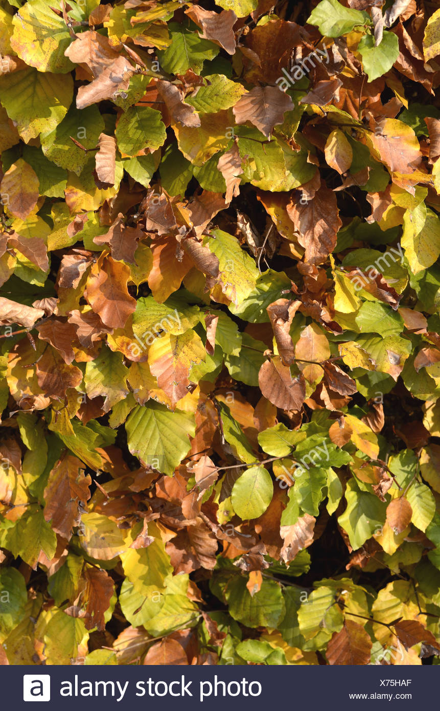 Autumnal beech hedge, European Beech or Common Beech (Fagus sylvatica), Borken, Muensterland, North Rhine-Westphalia - Stock Image