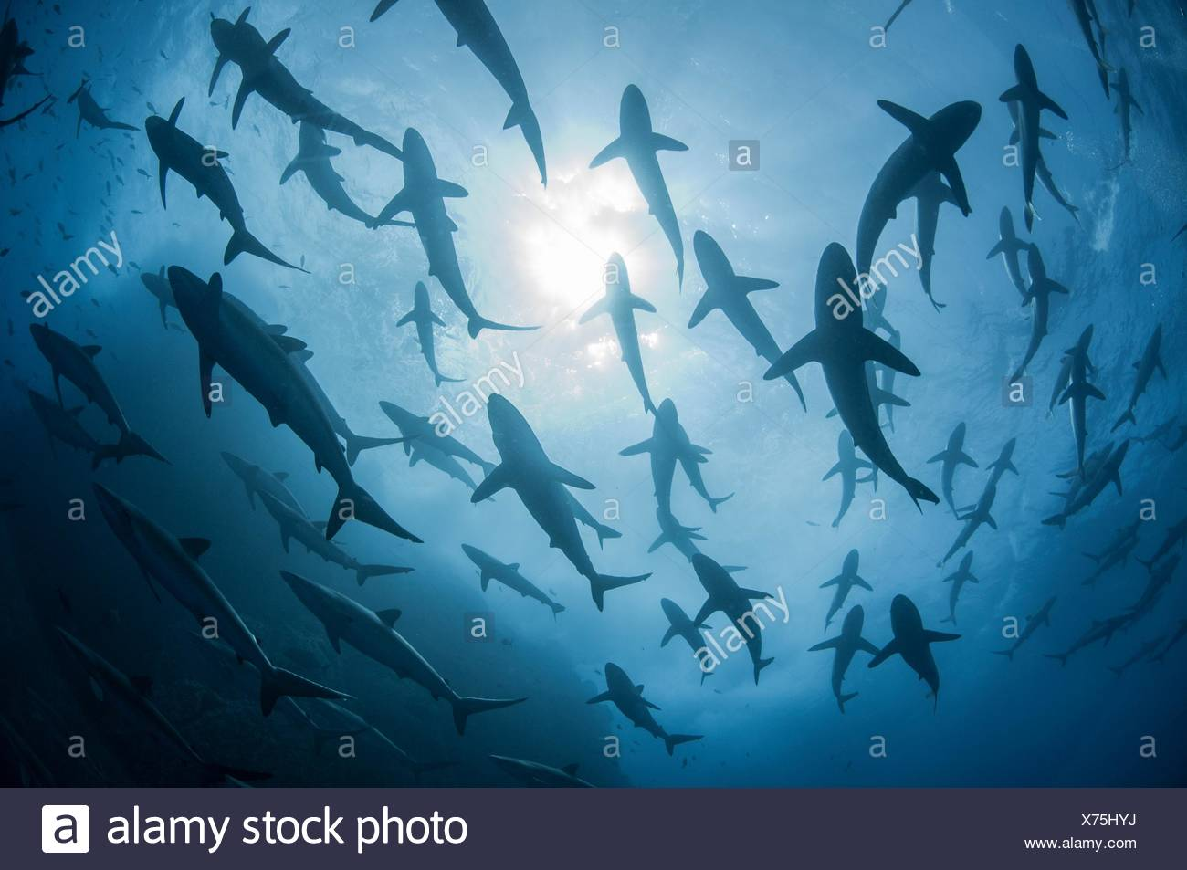 Underwater silhouetted view of silky sharks gathering in spring for mating rituals, Roca Partida, Revillagigedo, Mexico Stock Photo