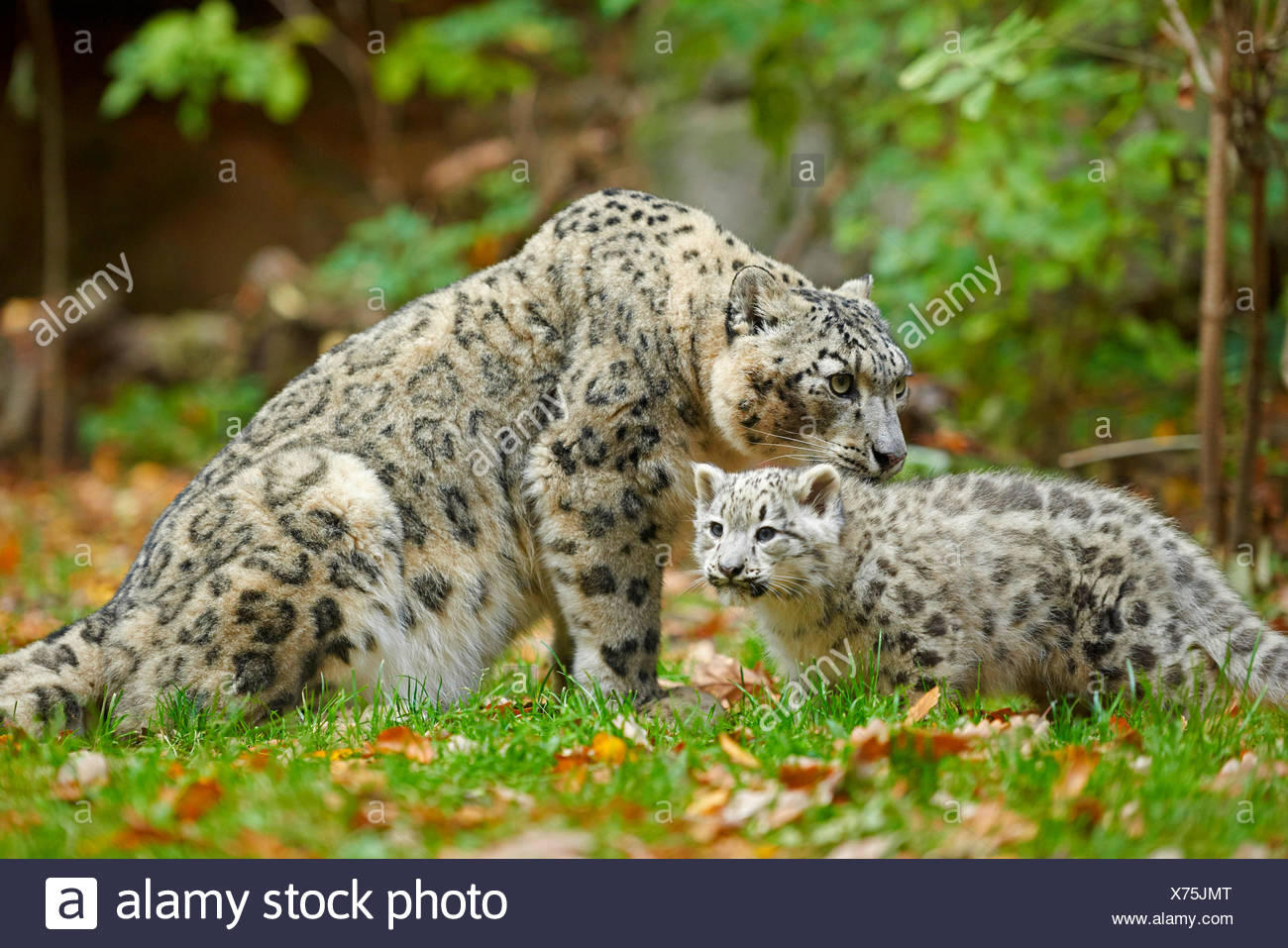 snow leopard (Uncia uncia, Panthera uncia), leopardesses with one youngster in a meadow Stock Photo