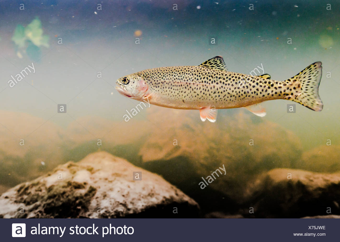 Underwater view of an adult coastal Cutthroat trout in the tannin stained water of 18-mile Creek, Copper River Delta, Alaska Stock Photo