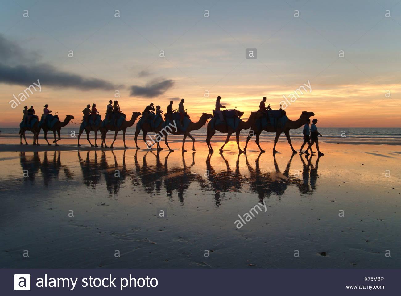 Camel caravan, Cable Beach, Broome, West Kimberlys, Australia Stock Photo