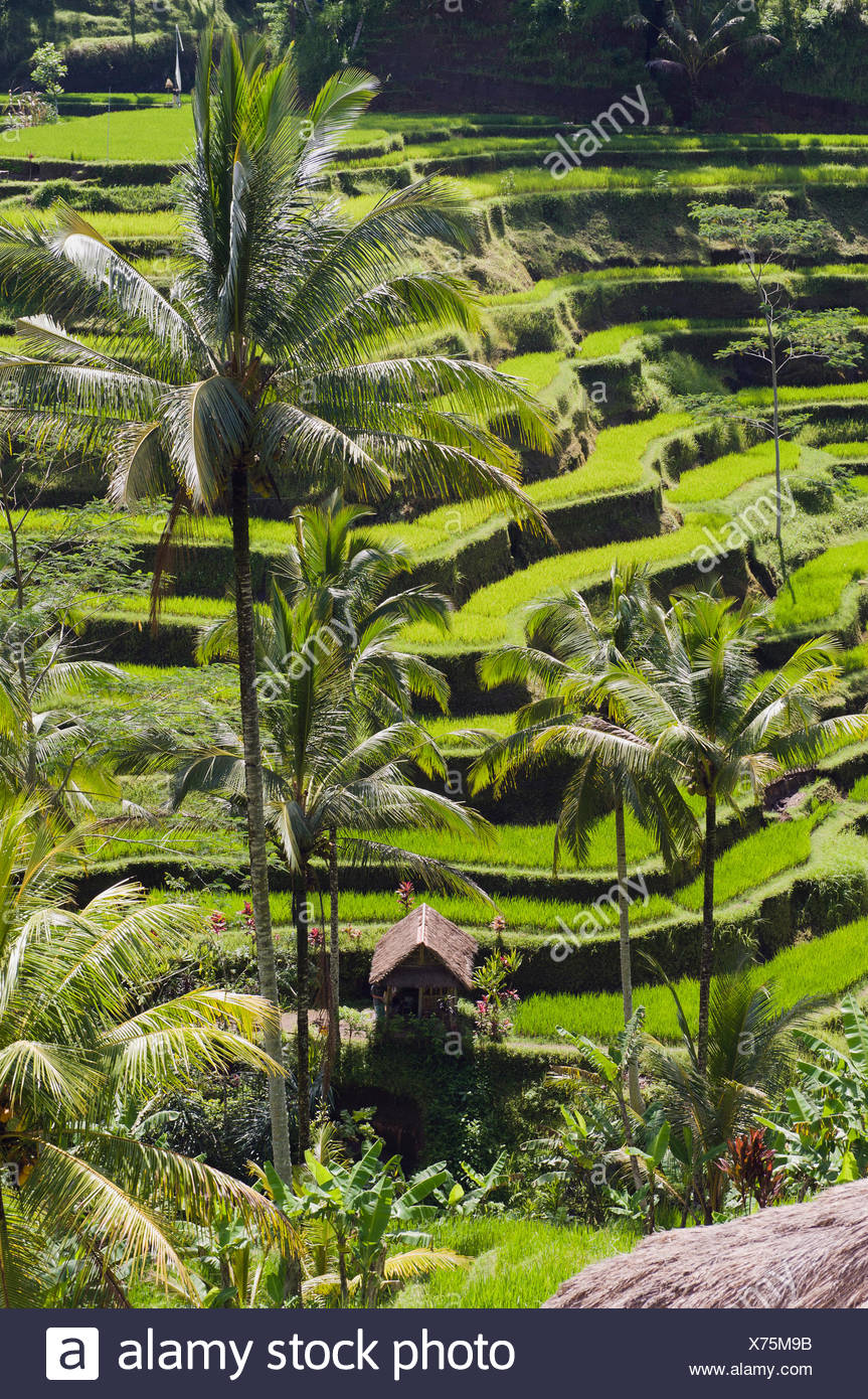 Rice terraces and coconut trees, Tegallalang, Bali, Indonesia - Stock Image