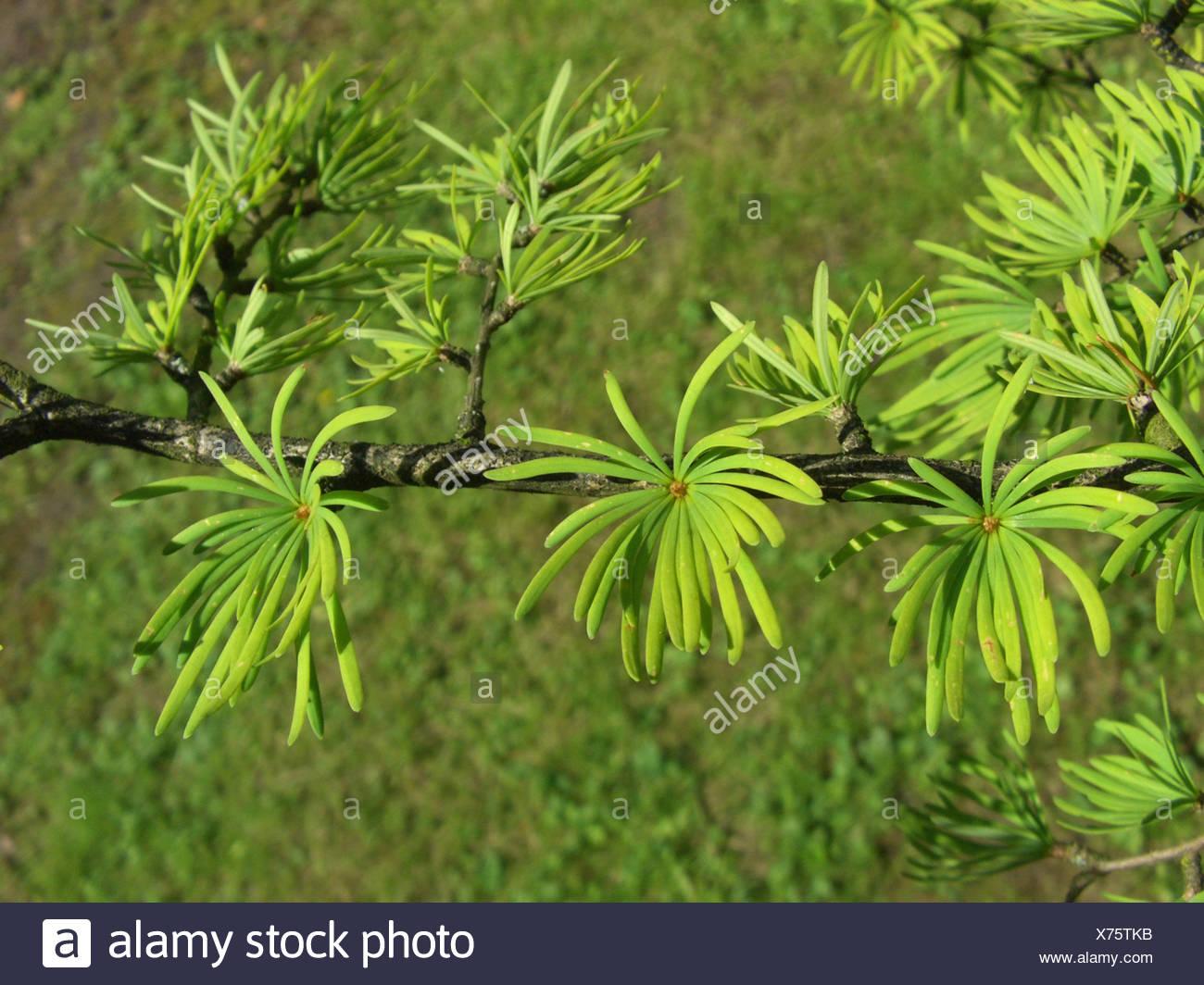 Golden Larch Pseudolarix Amabilis Pseudolarix Kaempferi Branch With Needles Stock Photo Alamy
