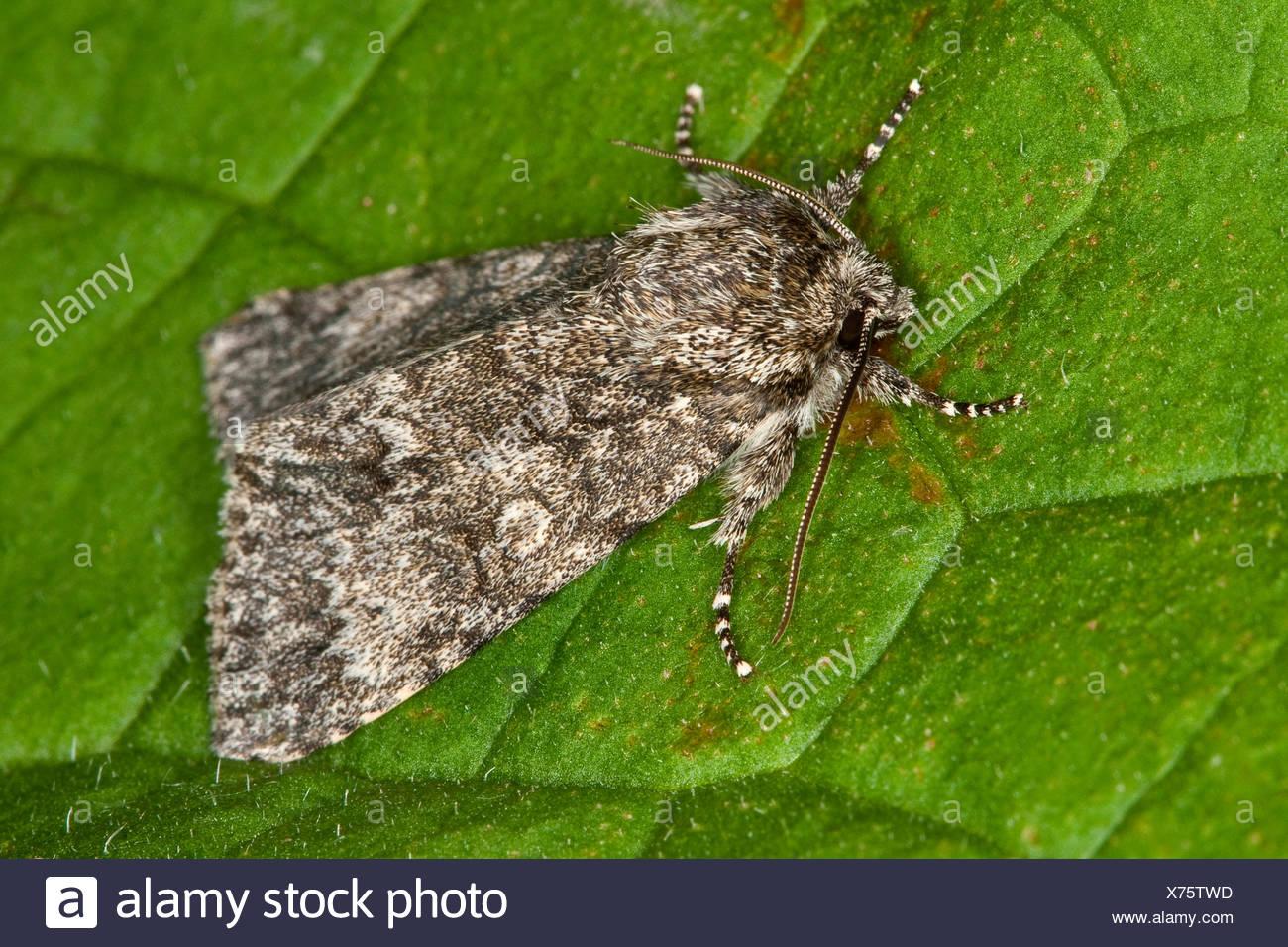 Poplar Grey (Acronicta megacephala, Apatele megacephala), sitting on a leaf, Germany - Stock Image