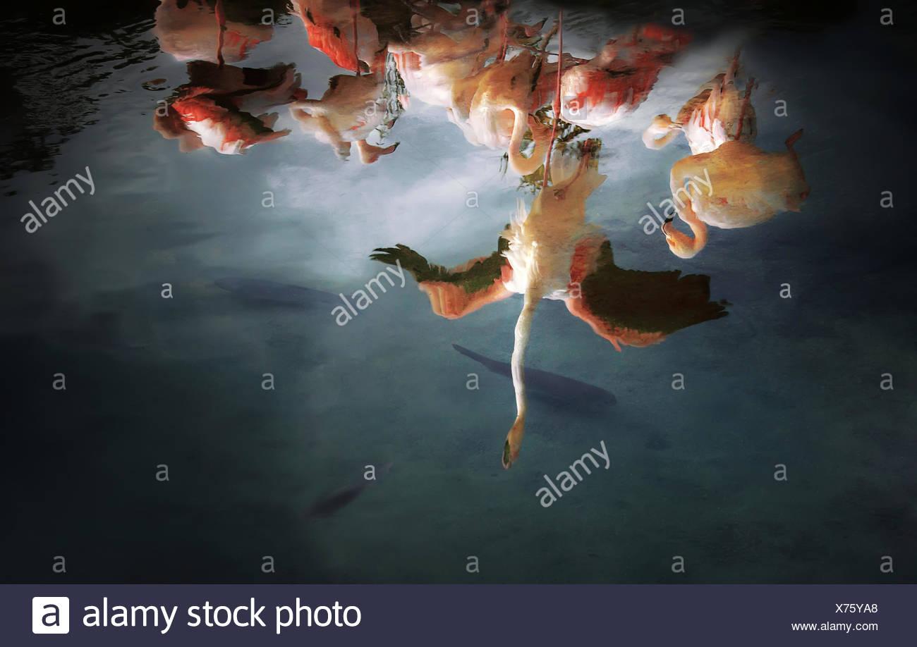 Reflection of a flock of Flamingos, Valencia, Spain - Stock Image