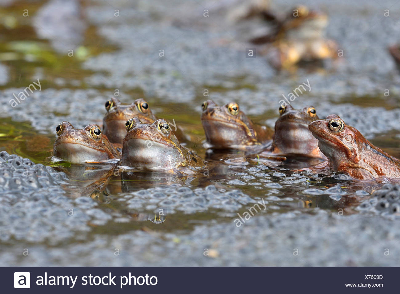 common frog, grass frog (Rana temporaria), sitting in water with eggs, Austria, Burgenland, Neusiedler See National Park - Stock Image