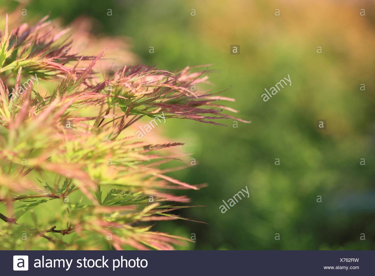 Acer japonicum in the garden Stock Photo