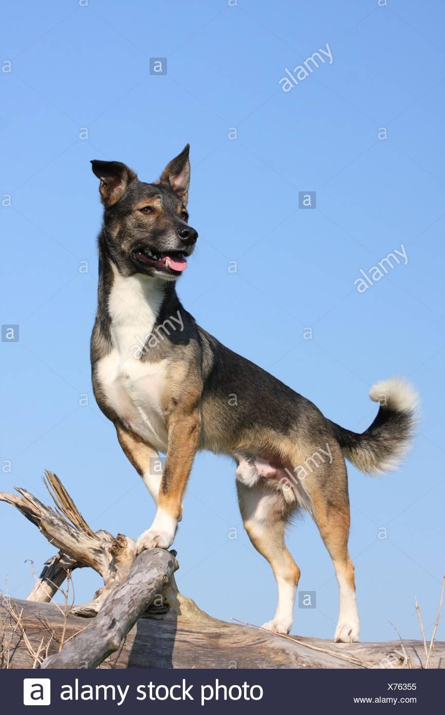 crossbreed dog - Stock Image