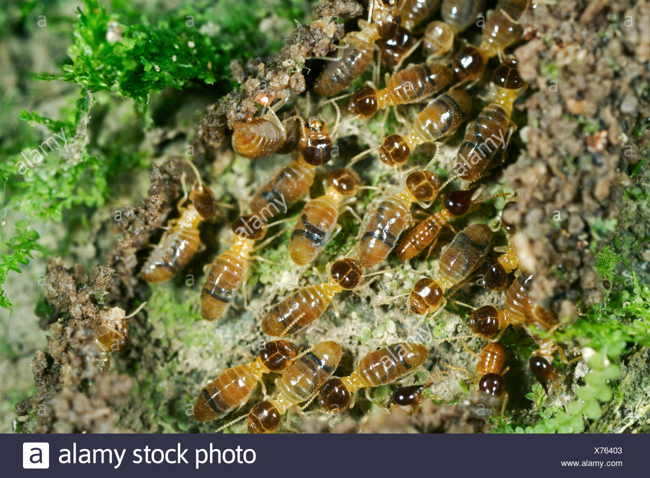 Nasutitermes termites with nose-like appendages on the head for spraying a sticky liquid for defense, termites (Termitidae) - Stock Image