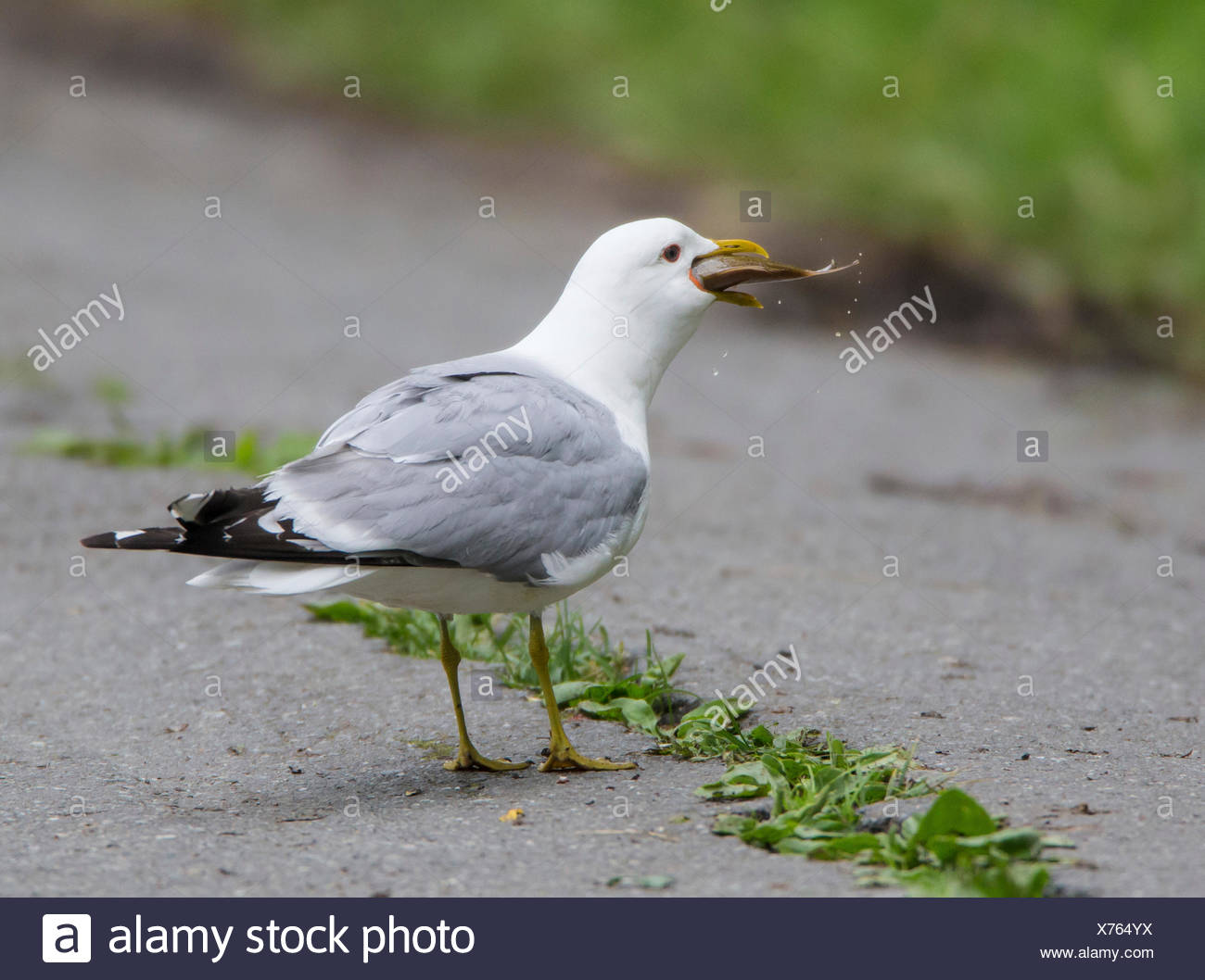 mew gull (Larus canus), swallowing a crucian carp, Norway, Troms, Tromsoe - Stock Image