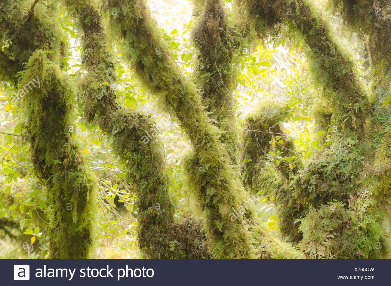 Temperate rainforest vegetation, with moss-covered trees, Mt. Egmont National Park, North Island, New Zealand - Stock Image