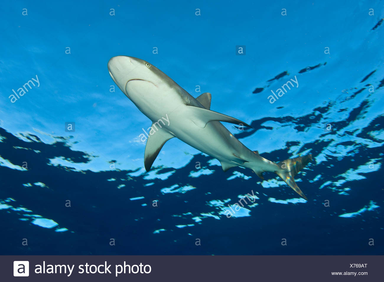 Low angle image of Caribbean reef shark (Carcharhinus perezi) at the surface. Grand Bahama, Bahamas. Tropical West Atlantic Ocean. - Stock Image
