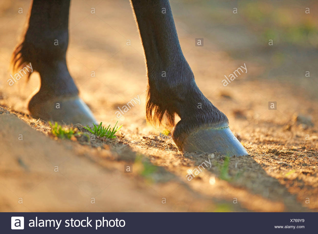 Domestic donkey (Equus asinus asinus), two hooves of a donkey, Germany - Stock Image