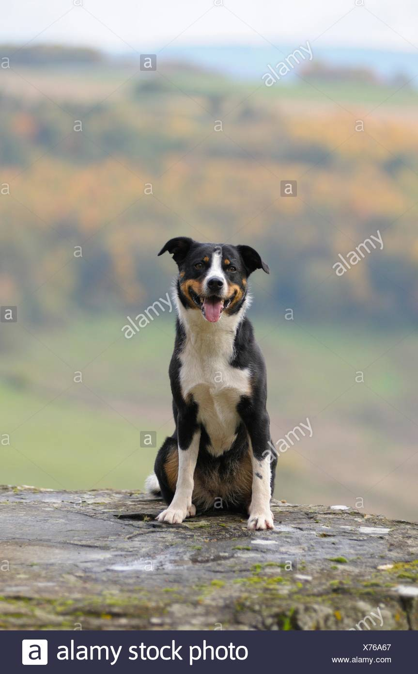 Appenzeller Sennenhund Or Appenzell Mountain Dog Sitting On