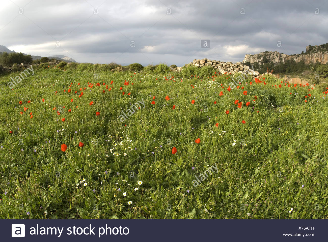 common poppy, corn poppy, red poppy (Papaver rhoeas), poppy field on Karpathos, Greece Stock Photo