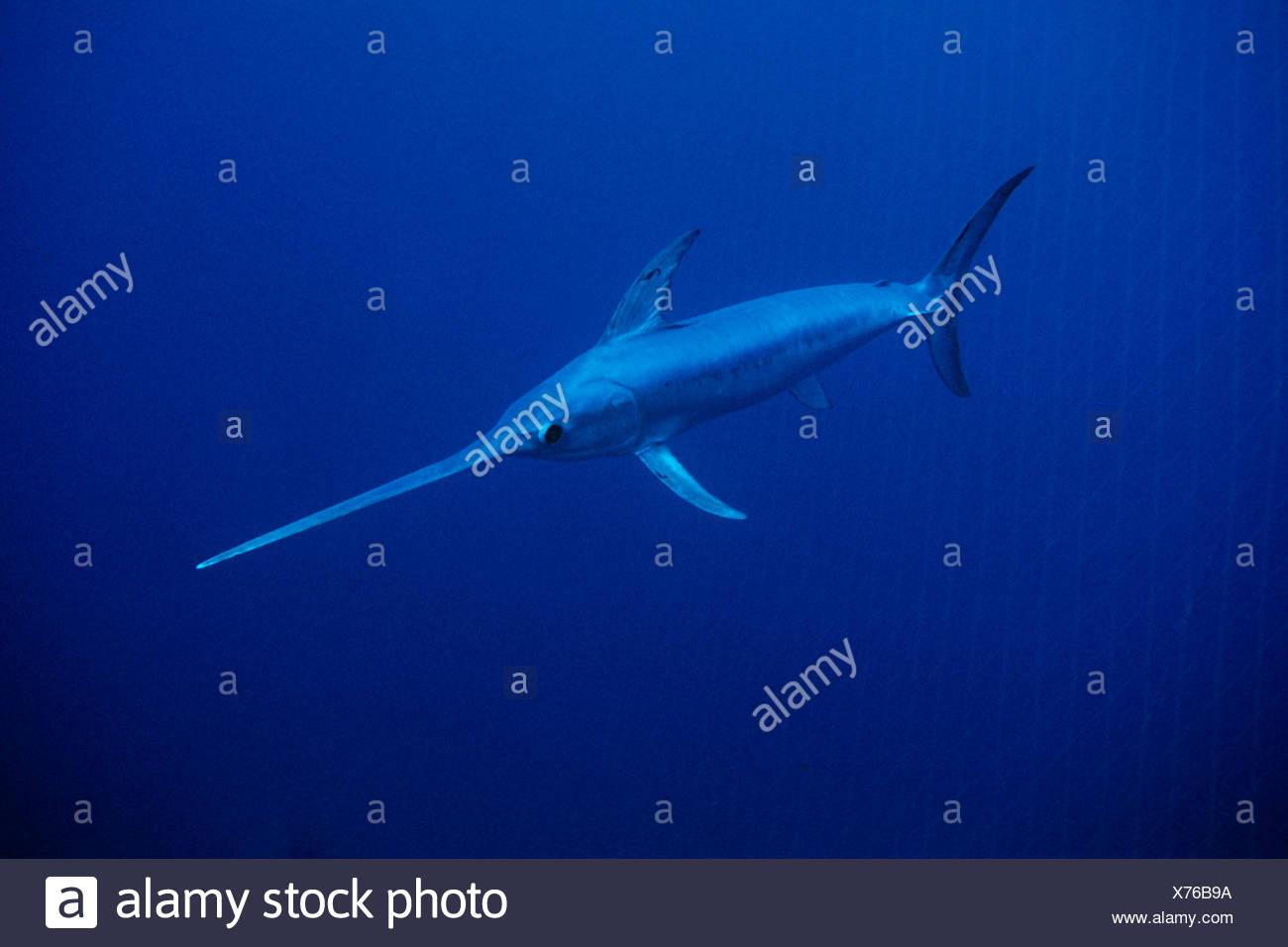 Swordfish bycatch, Xiphias gladius, Sardinia, Italy - Stock Image