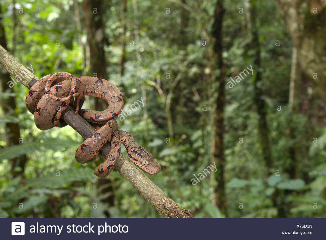 Amazon Tree Boa Corallus Enydris Stock Photos & Amazon Tree Boa ...