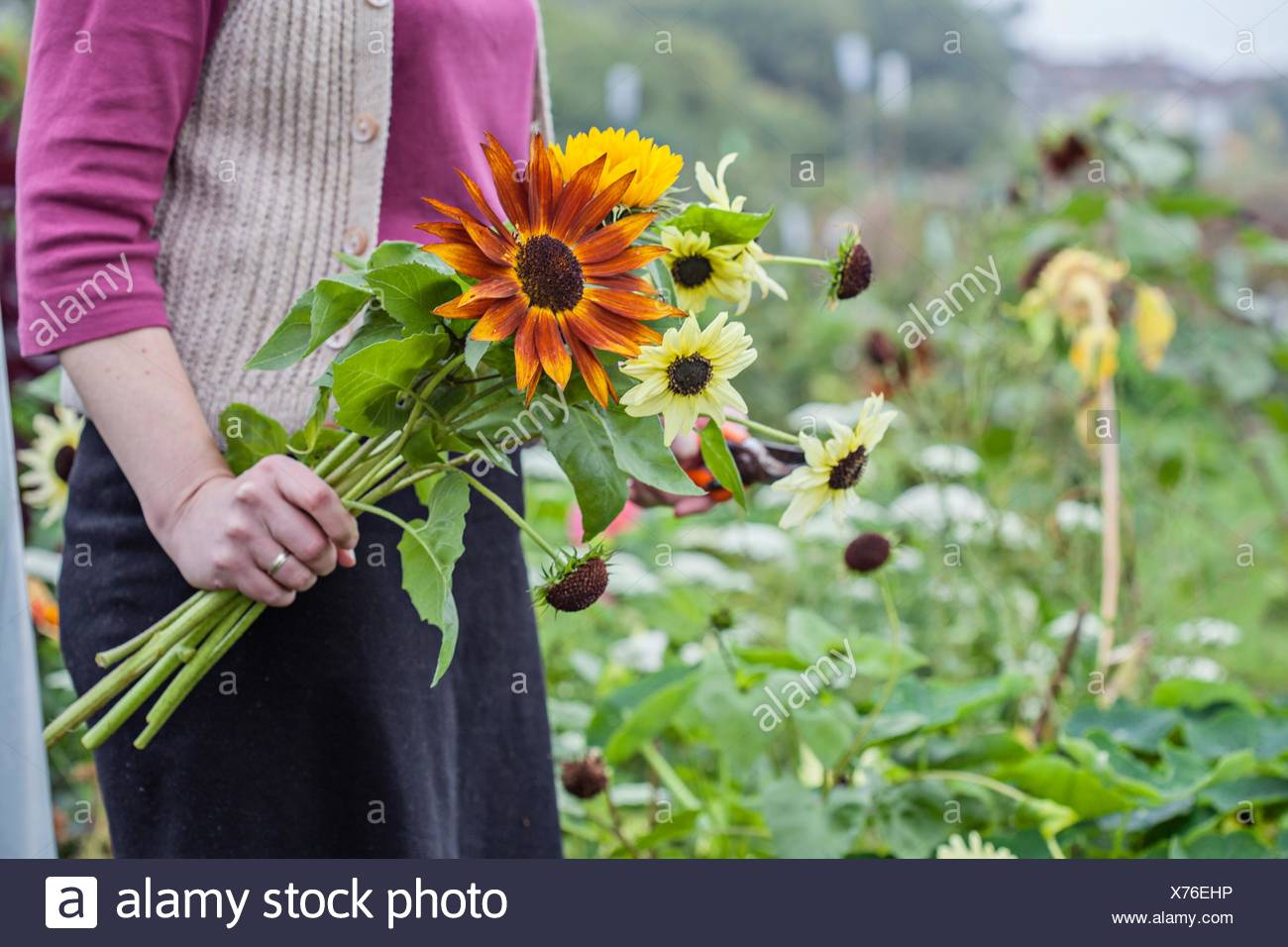 Cropped view of woman cutting fresh flowers at allotment - Stock Image