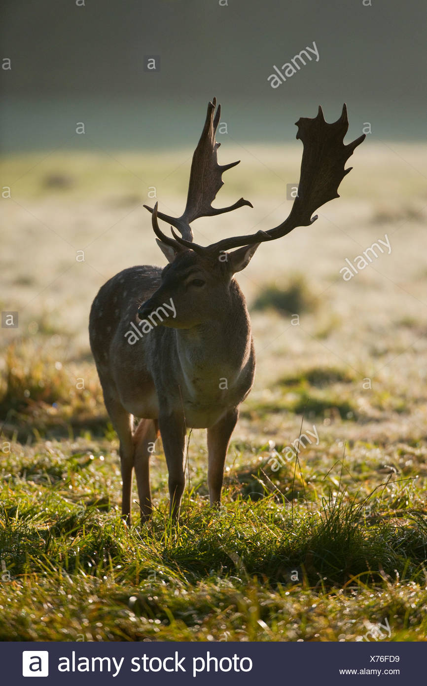 Fallow Deer (Dama dama), buck in the early morning, with backlight, captive, Bavaria, Germany - Stock Image