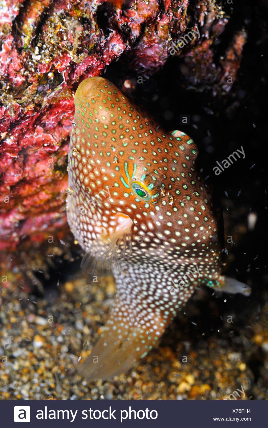 Spotted sharpnose puffer (Canthigaster punctatissima), Galapagos Islands, Ecuador Stock Photo