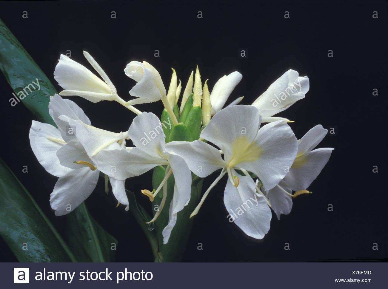 White Ginger Hedychium Coronarium Fragrant Flower Often Used In