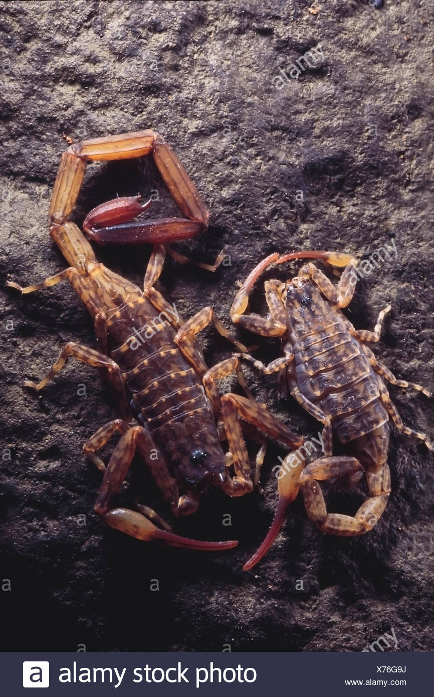 Baby Scorpions Stock Photos & Baby Scorpions Stock Images
