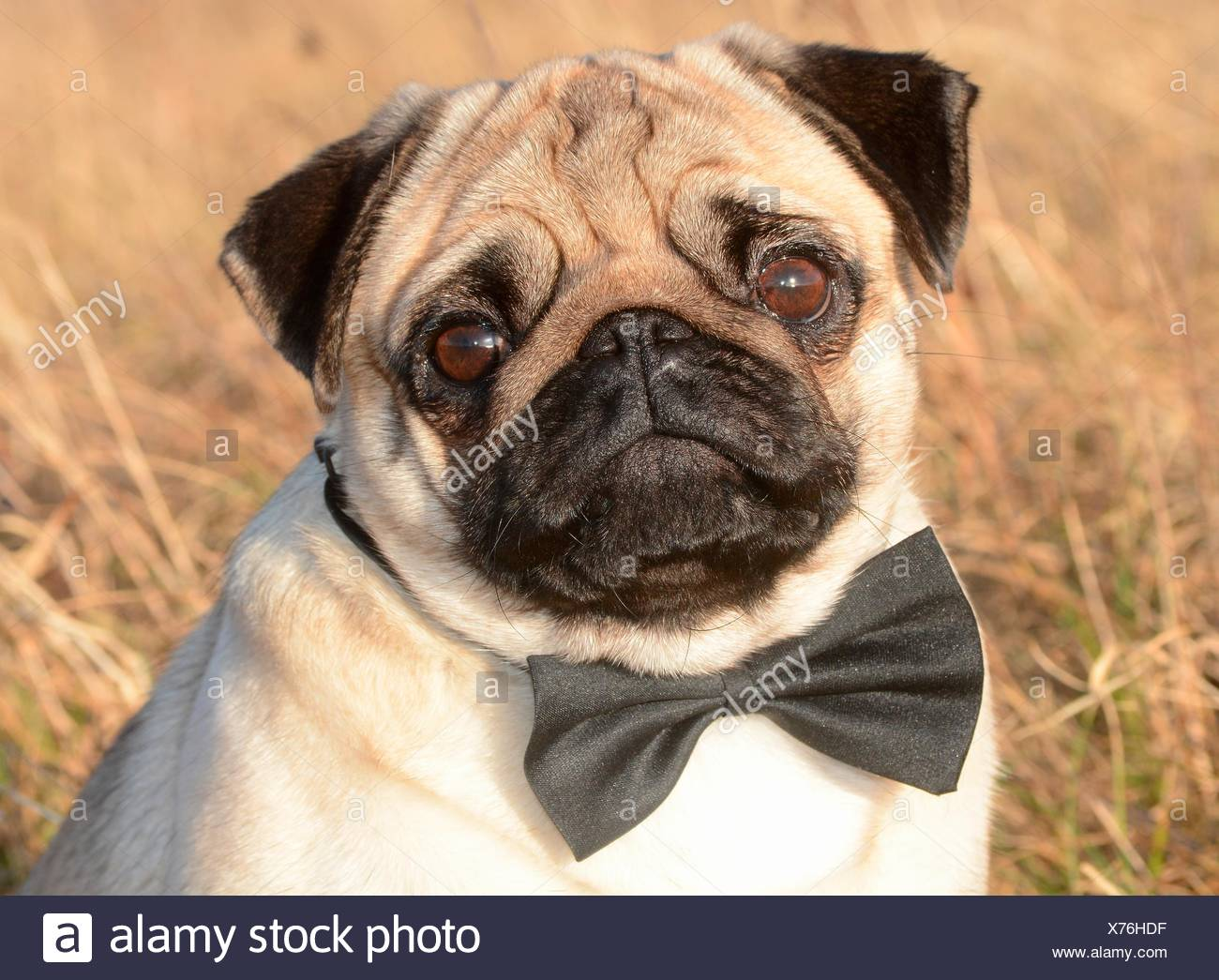 Pug with bow tie among dry grass, Sweden Stock Photo